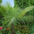 Palmier Chamaerops